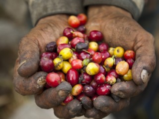 Hands of Coffee Worker Holding Beans