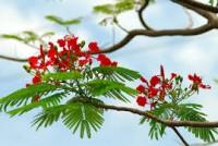 hoa phuong