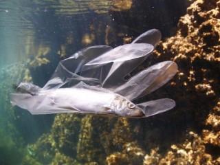 Một con cá bị mắc kẹt trong nhựa bỏ đi