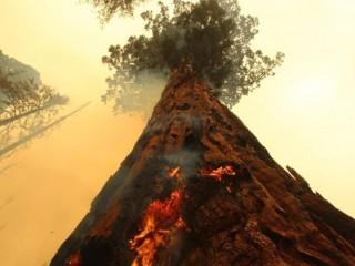 Ngọn lửa bùng lên một cây Sequoia khổng lồ ở bang California của Hoa Kỳ (AFP)